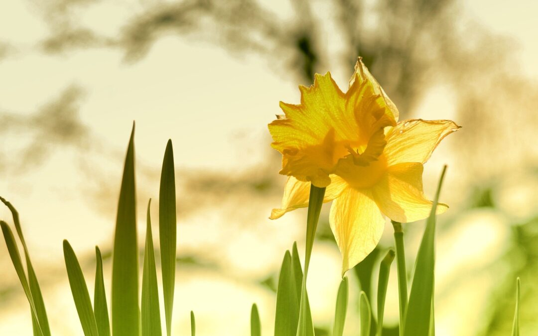 The Life of a Daffodil